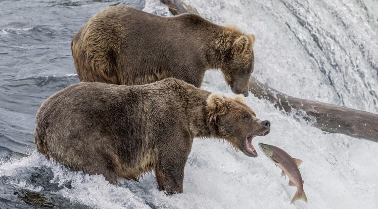 Bears Arbing Salmon